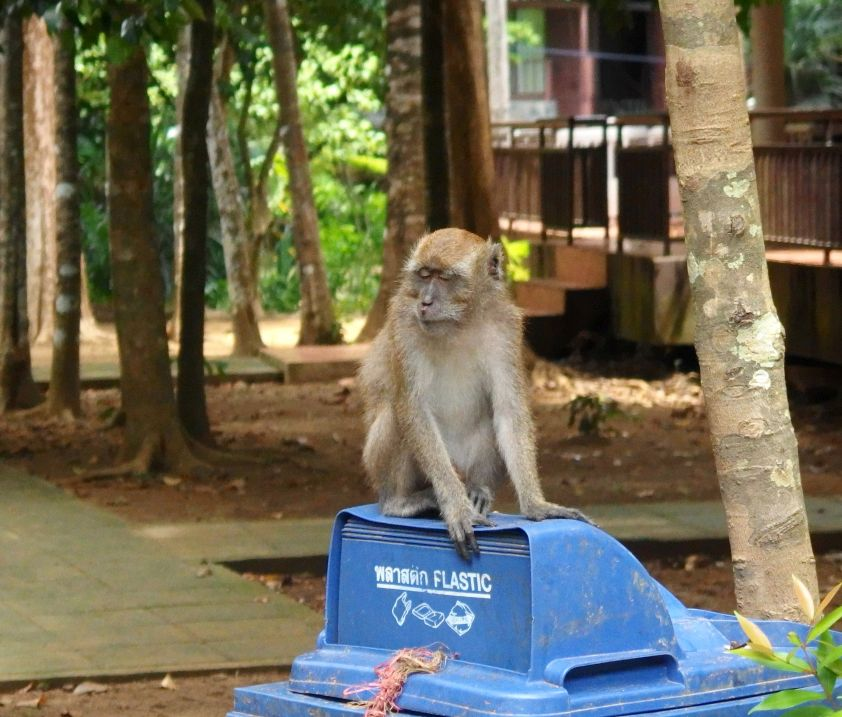 Małpa w parku narodowym Mu Koh Lanta