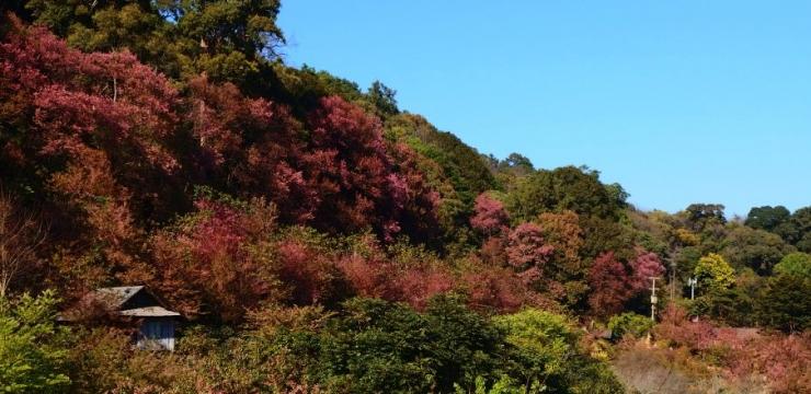 W wiosce kwitnącej wiśni – Chiang Mai, Tajlandia